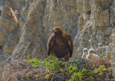 Golden Eagle with two young